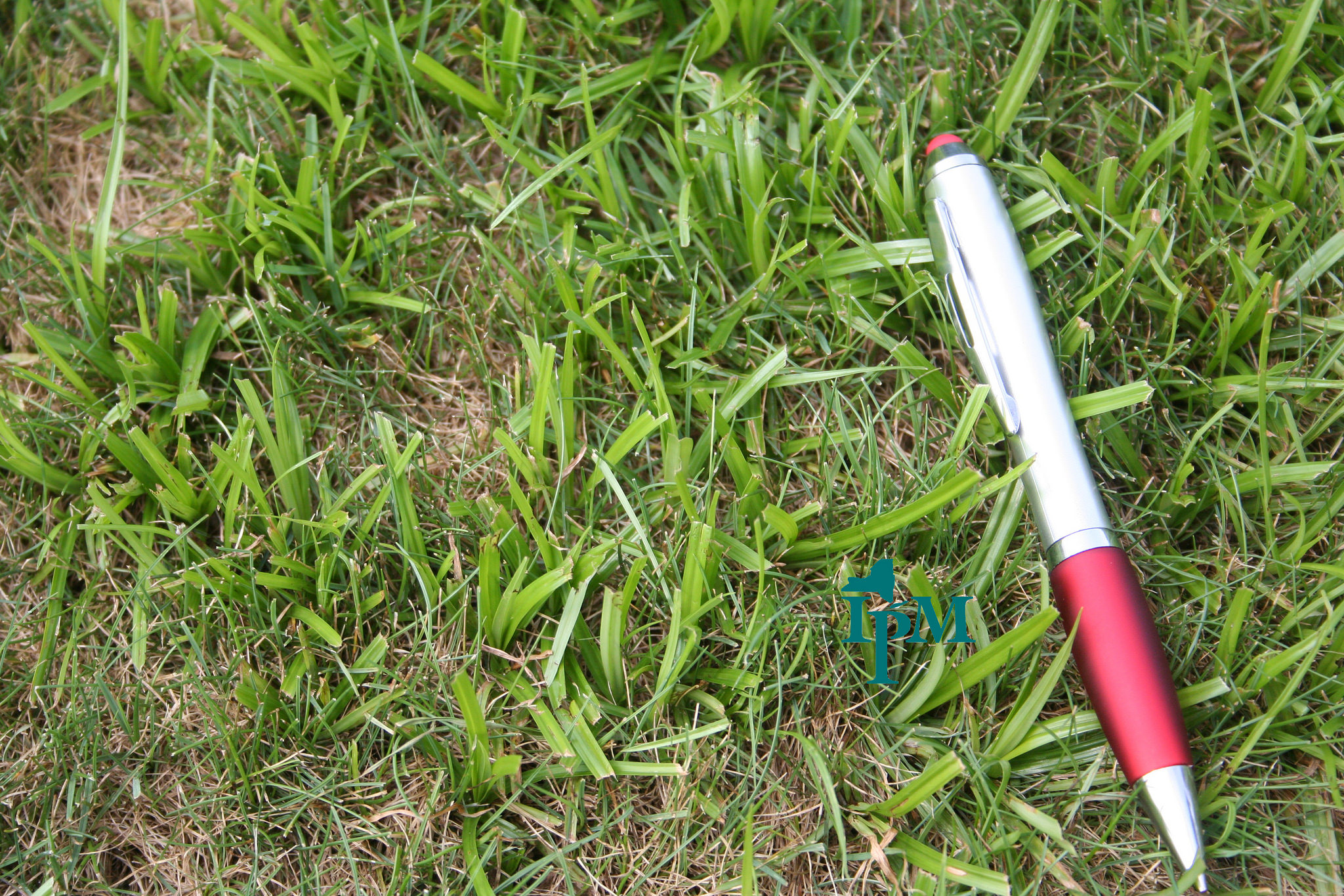 The size of nutsedge weeds compared to a pen.