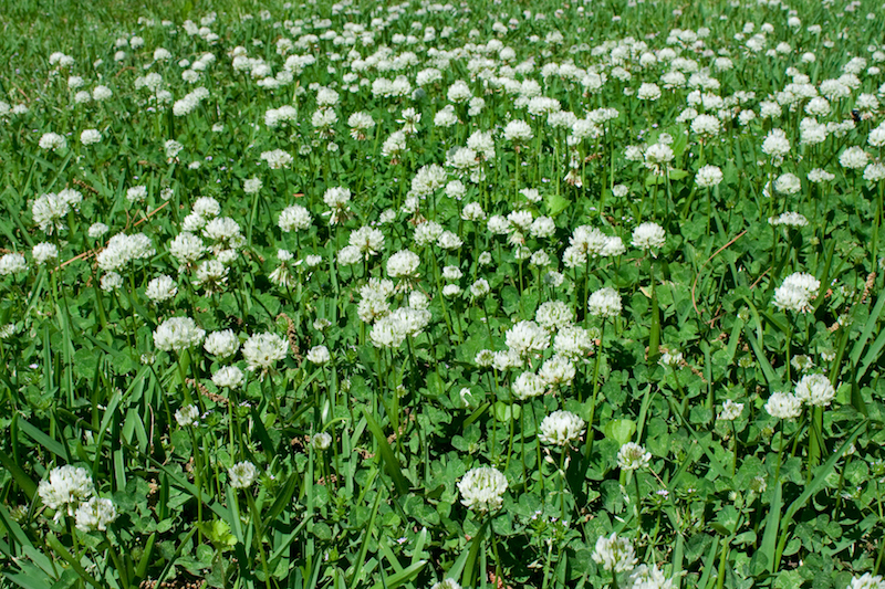 clover-patch-image