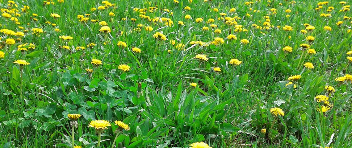 5 Top Lawn Weeds You Can Do Without